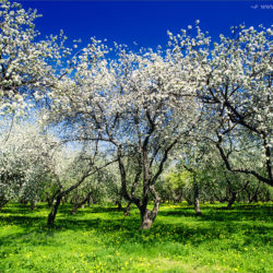 Яблоневый сад в Коломенском