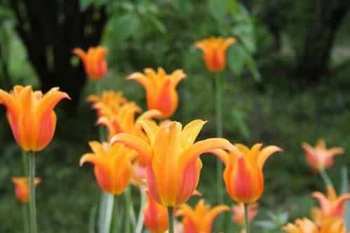 Фестиваль весенних цветов в Аптекарском огороде