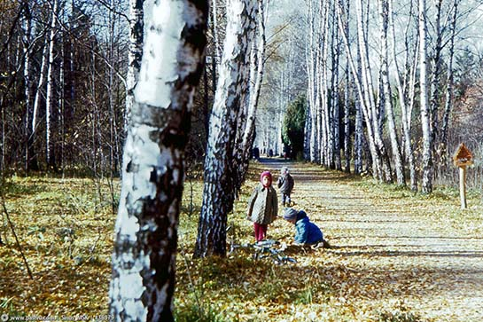 Бирюлёвский дендропарк. Берёзовая аллея